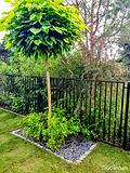 Przesadzane drzewo - zakładanie i pielęgnacja ogrodów - Tru Garden Wiązowna