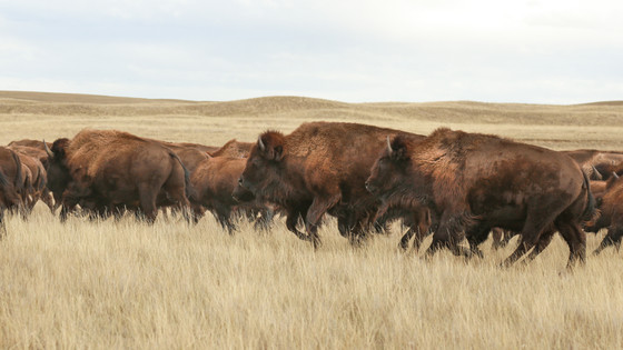 Running with Bison
