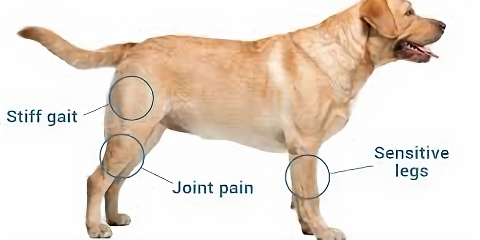 The Practical Management of Canine Osteoarthritis