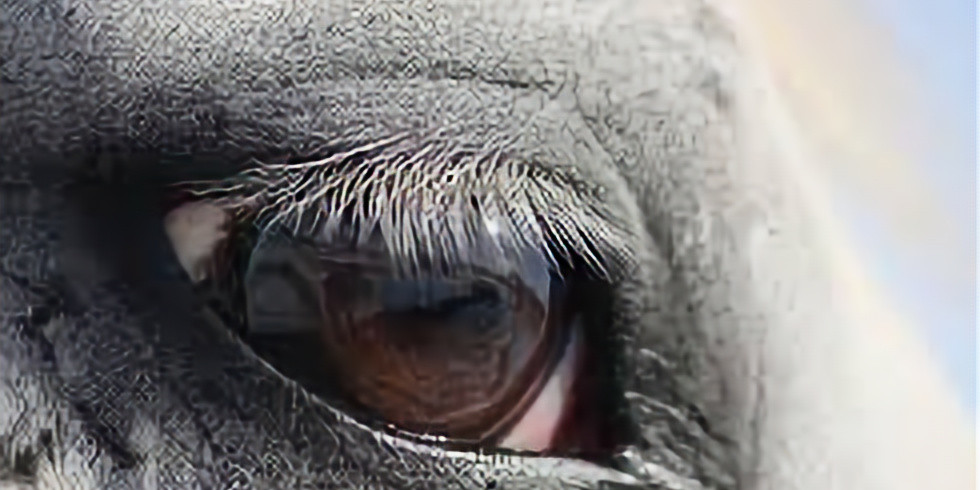 Therapy for the Treatment of Ocular & Eyelid Squamous Cell Carcinoma in the Horse