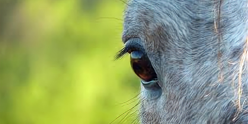 Diagnosis and Treatment of Equine Uveitis:  Managing Expectations