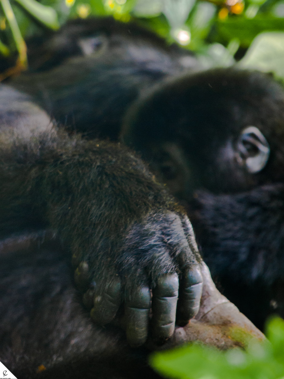 Gorilla trekking in Bwindi Impenetrable Forest, a national park in Uganda is a phenomenal experience.