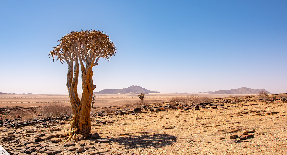 Quiver trees south of Swakopmund in Namibia.