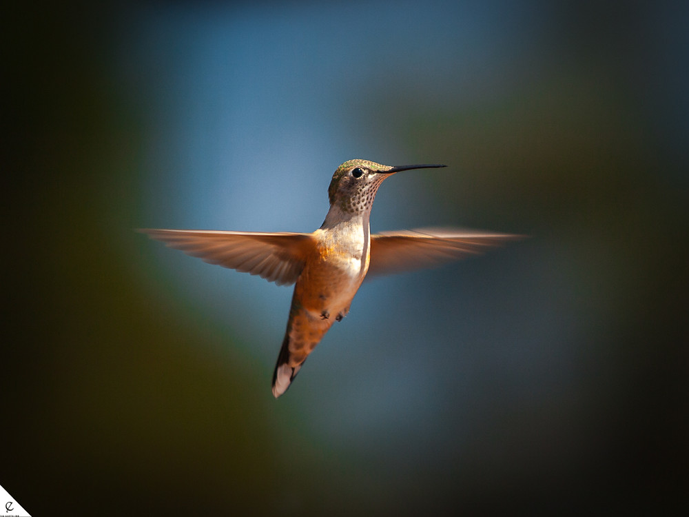 Hummingbird in the Rocky Mountains.