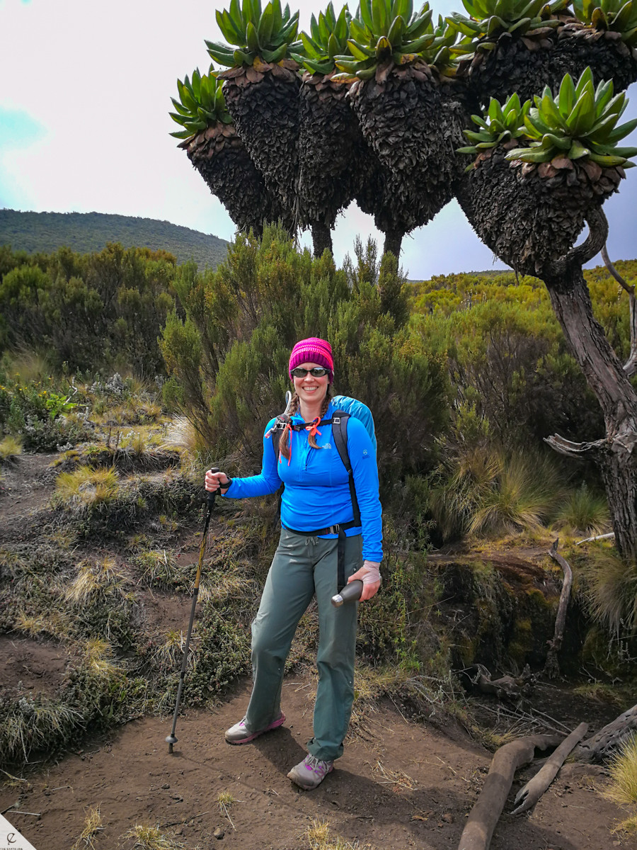 The giant groundsel (Dendrosenecio kilimanjari) on Kilimanjaro.