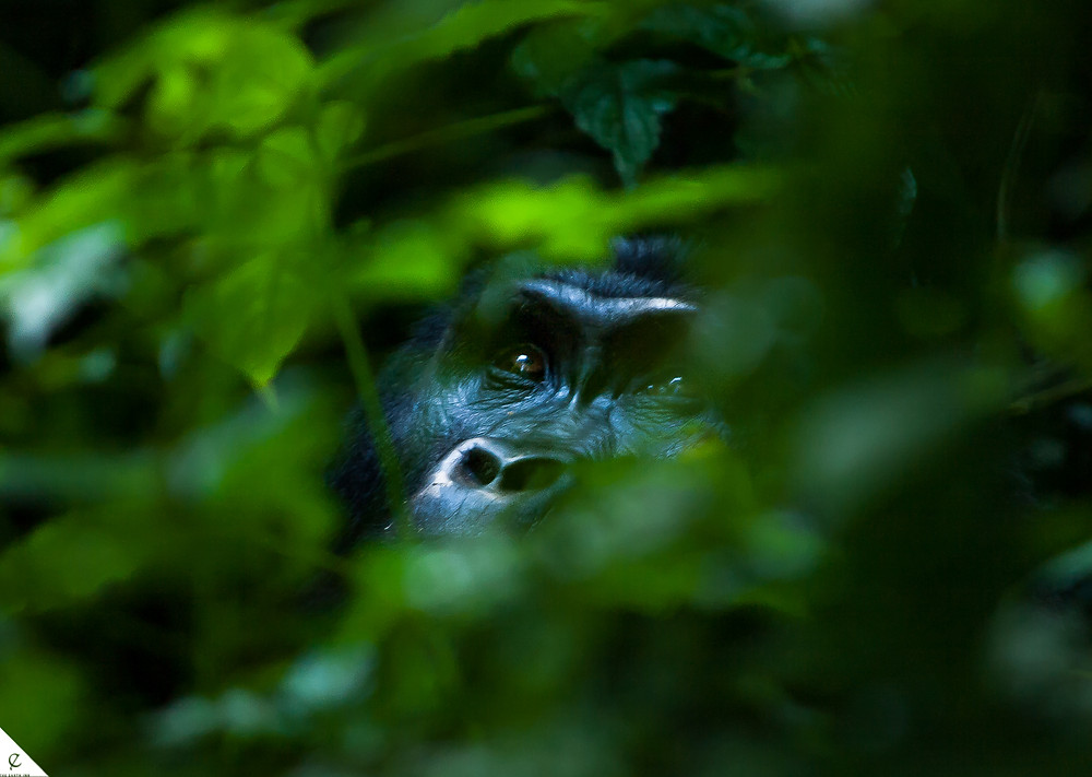 Gorilla trekking tour in Uganda was a once in a life opportunity to witness a family of gorillas in their natural forest habitat.
