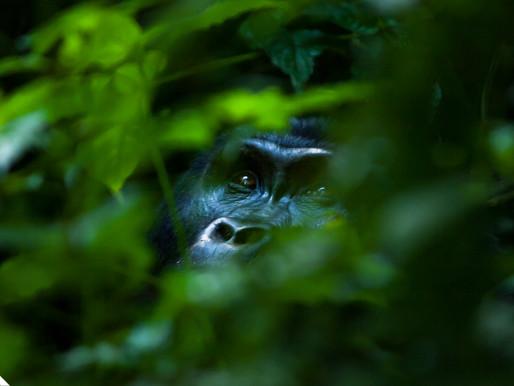 Bwindi Gorilla Goo