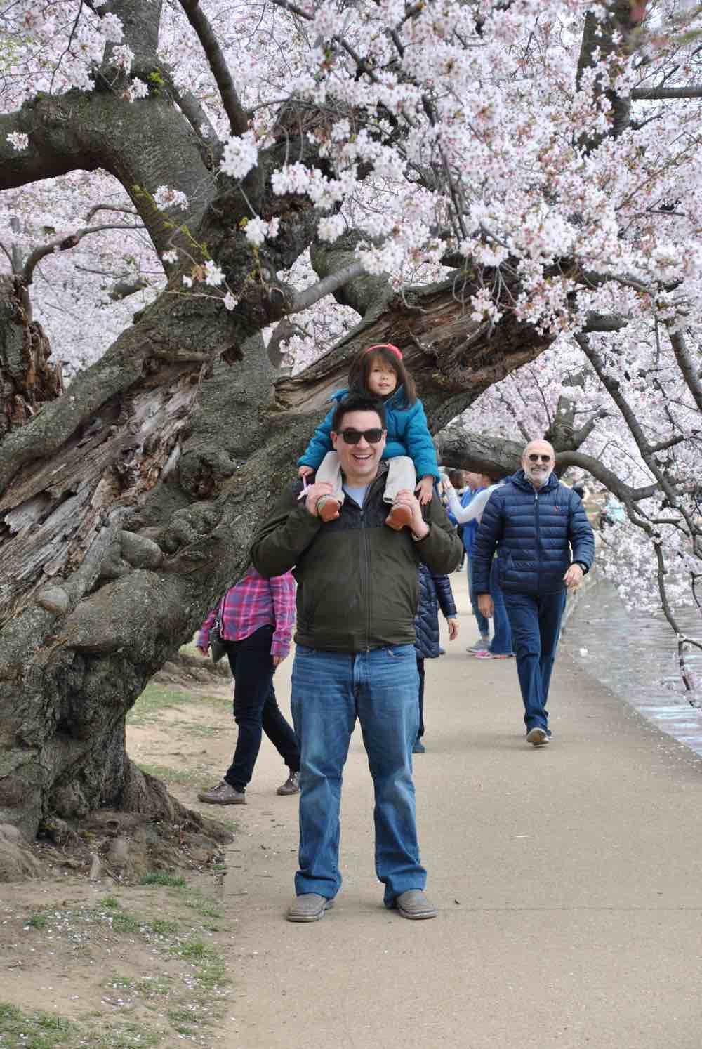 Ancient cherry trees around the Tidal Basin of Washington D.C. USA