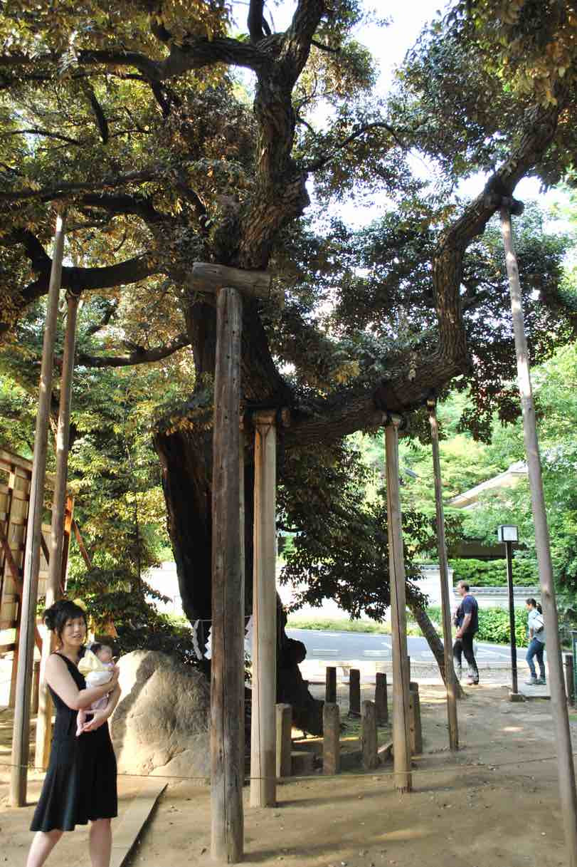 An ancient tree being supported by multiple wooden posts.
