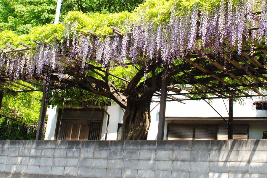 An ancient wisteria being braced and supported in Zama, Japan