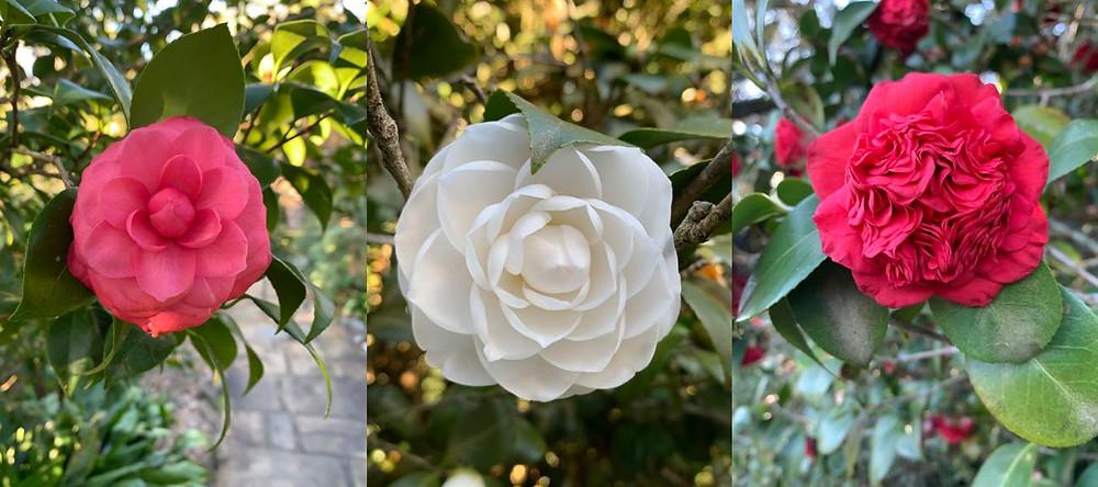 Three different camellias found at Bellingrath Gardens.