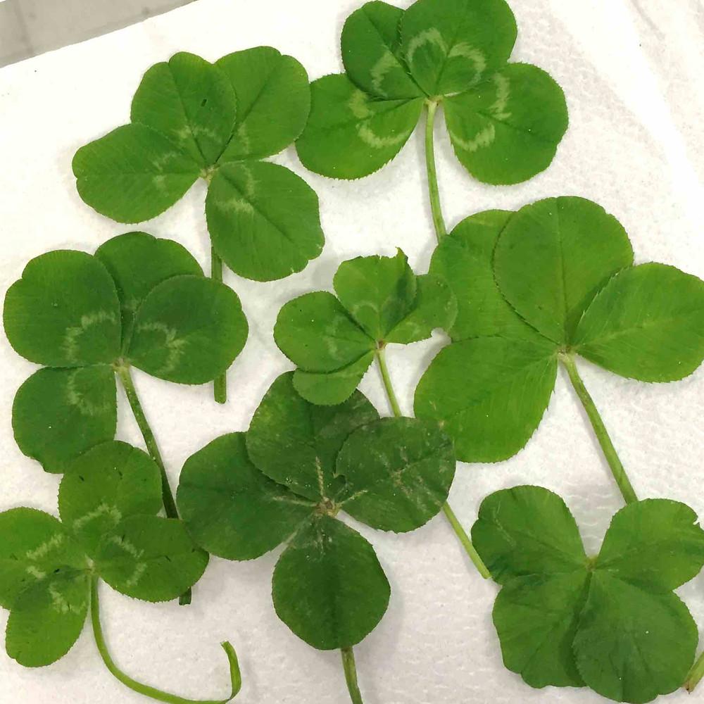 Eight four leaf clovers