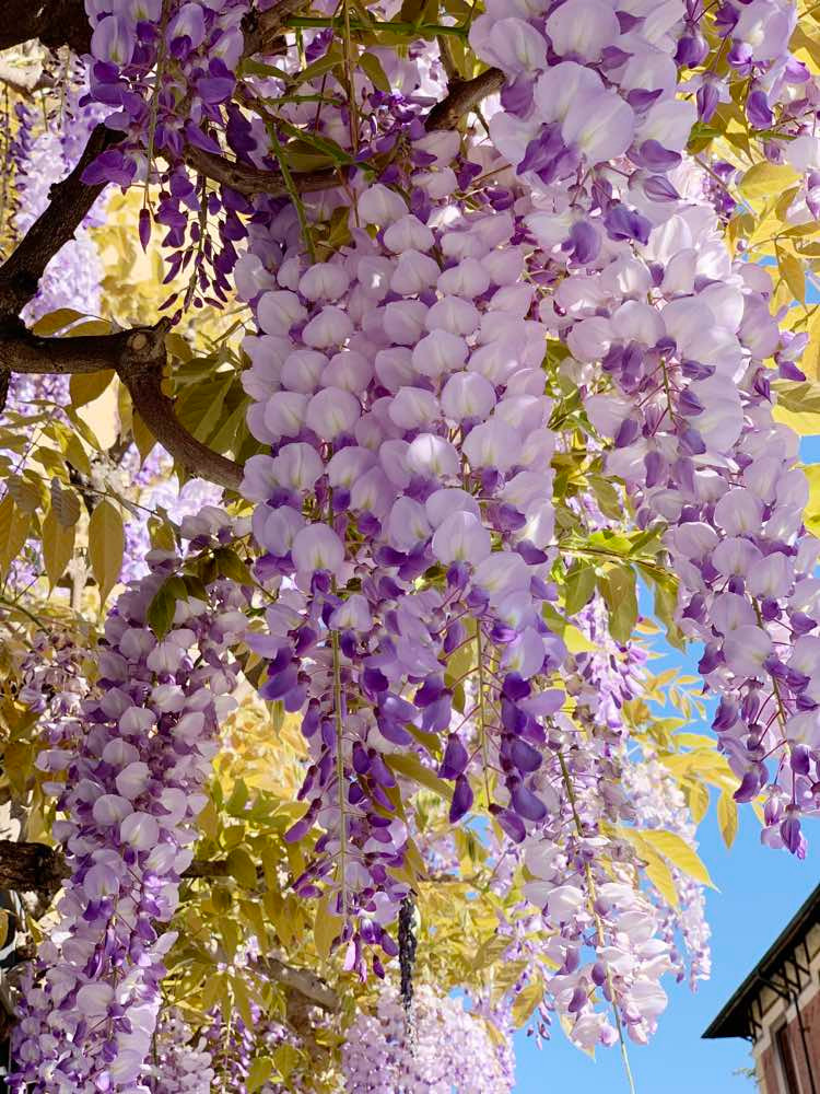 wisterias in Turin, Italy