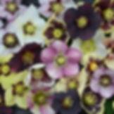 Helleborus.jpg
