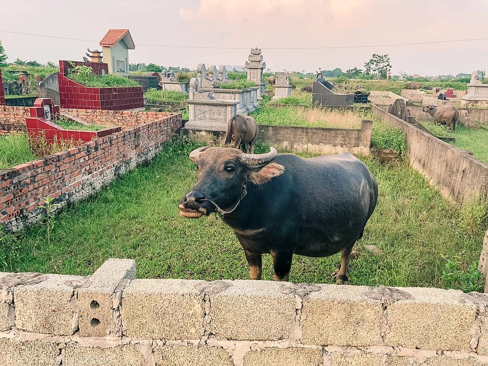 Water Buffalo Vietnam