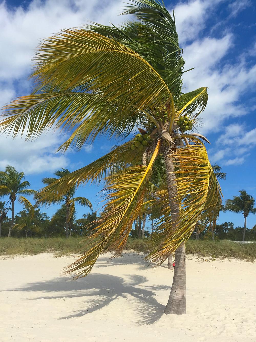 Smathers Beach Key West Palm Tree