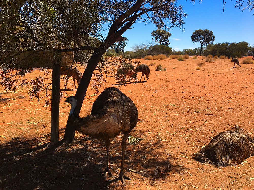 Emu on the road to Uluru from Alice Springs