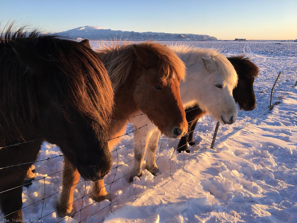 Icelandic Horses waiting for Treats, Iceland