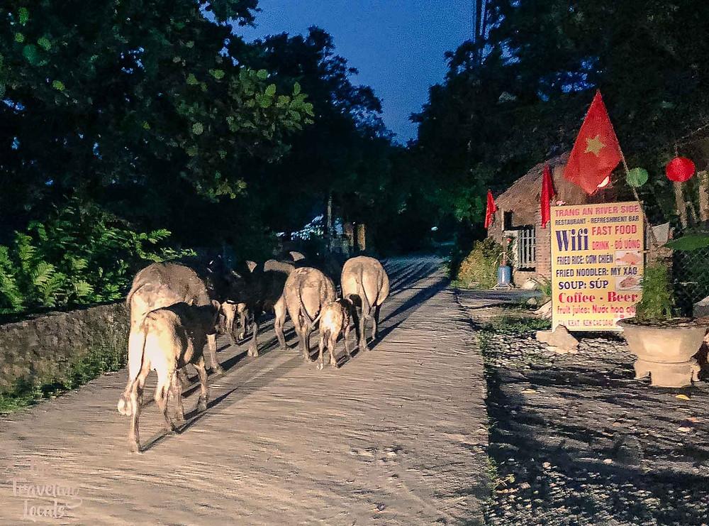 Water Buffalo Walking by at Night Vietnam
