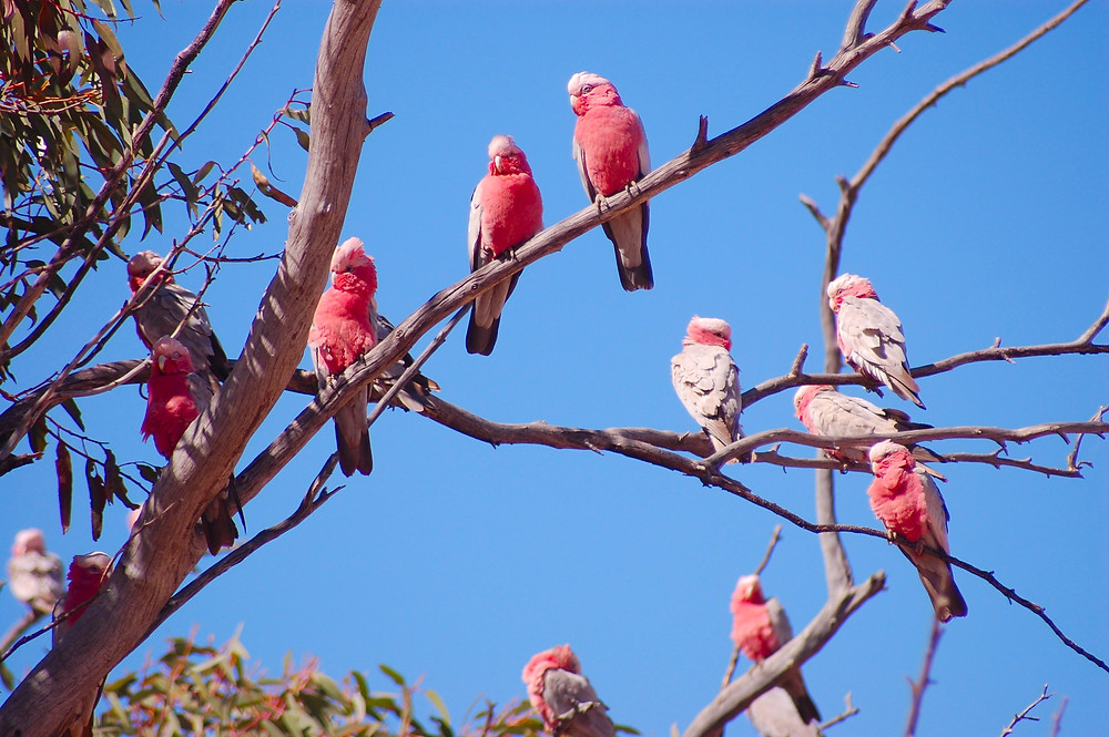 Galah cockotoos Alice Springs