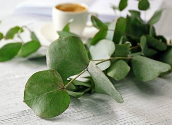 Eucalyptus Dream Aromatherapy