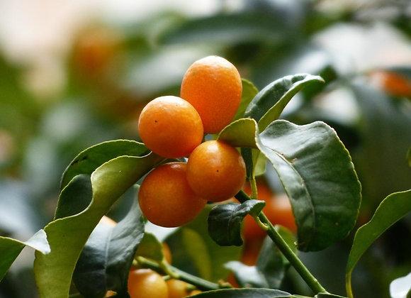 Kumquat Aromatherapy