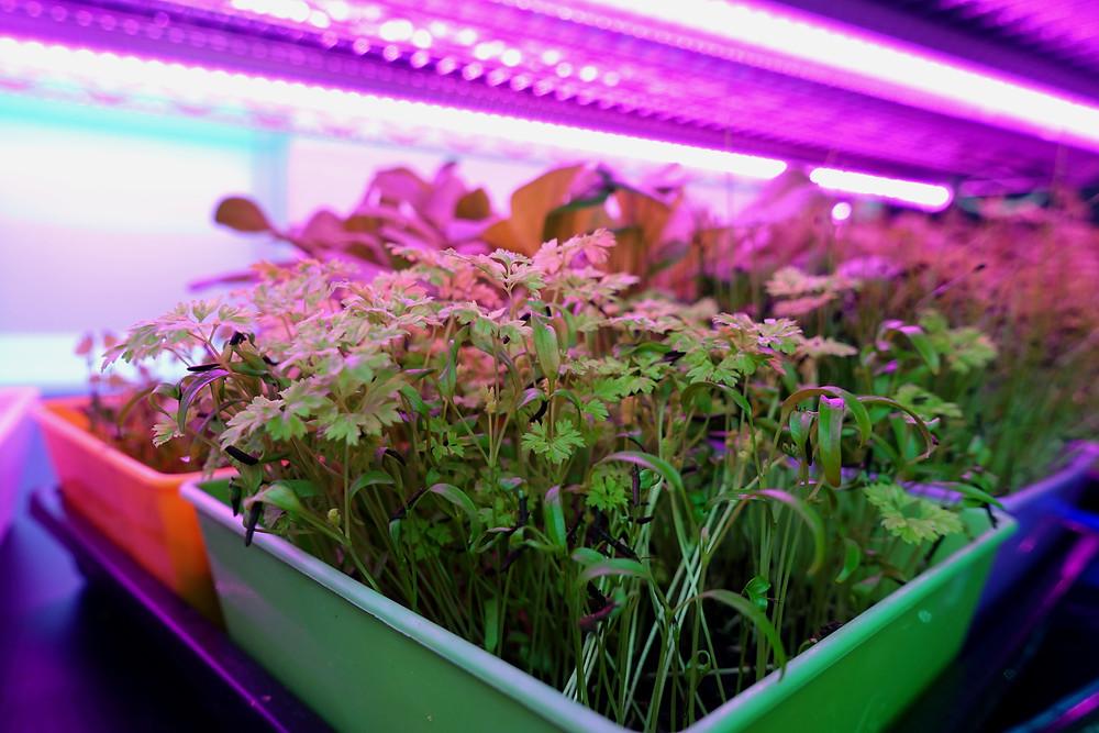 On The Grow farms Various Microgreens in 5x5 Bootstap Farmer Trays