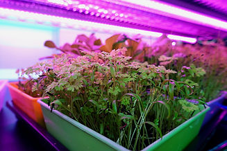 On The Grow farms Various Microgreens in