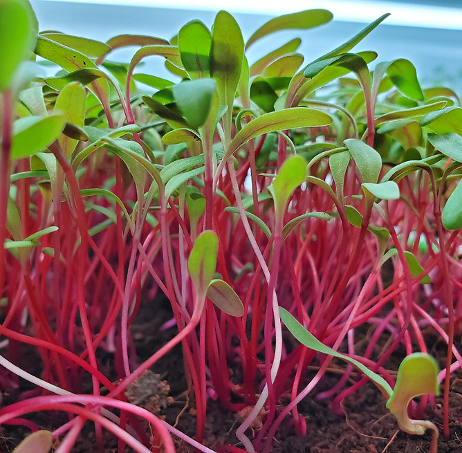 Swiss Chard Microgreens growing on Cococ
