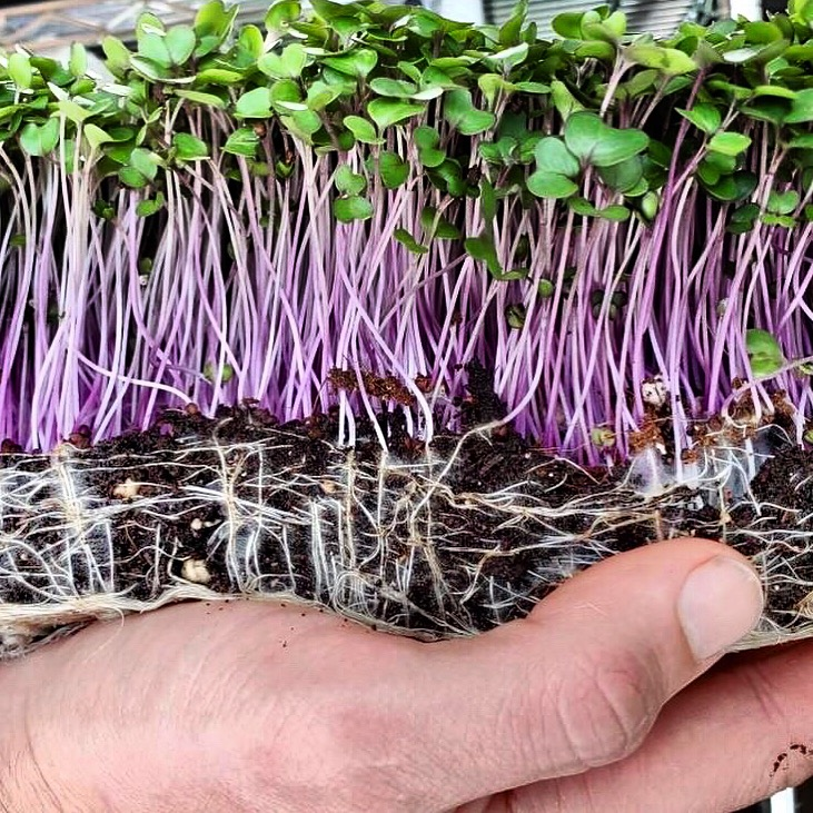 CJ Vaughn of On The Grow holding Purple Kohlrabi Microgreens grown in Soil