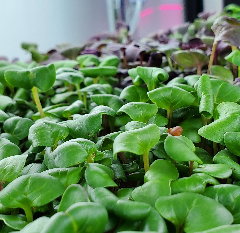 Rambo Radish and China Rose Radish Microgreens
