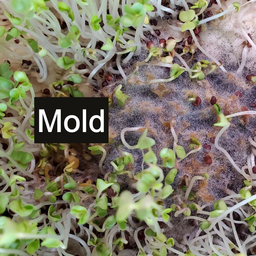 Identifying Mold On Microgreens
