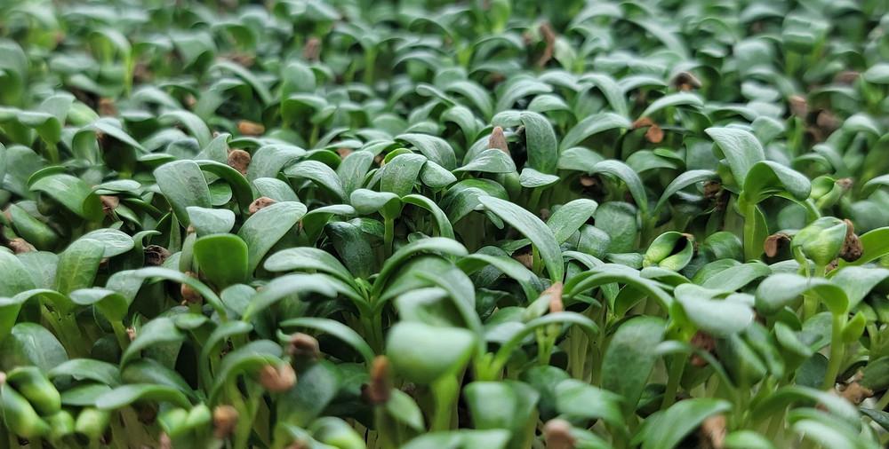 Fenugreek Microgreens by On The Grow