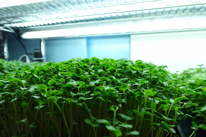 On the Grow Microgreens under Grow Light