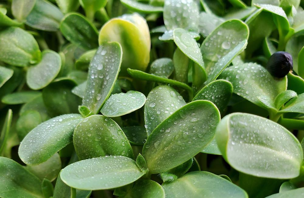 Black Oil Sunflower Microgreens grown by on the grow