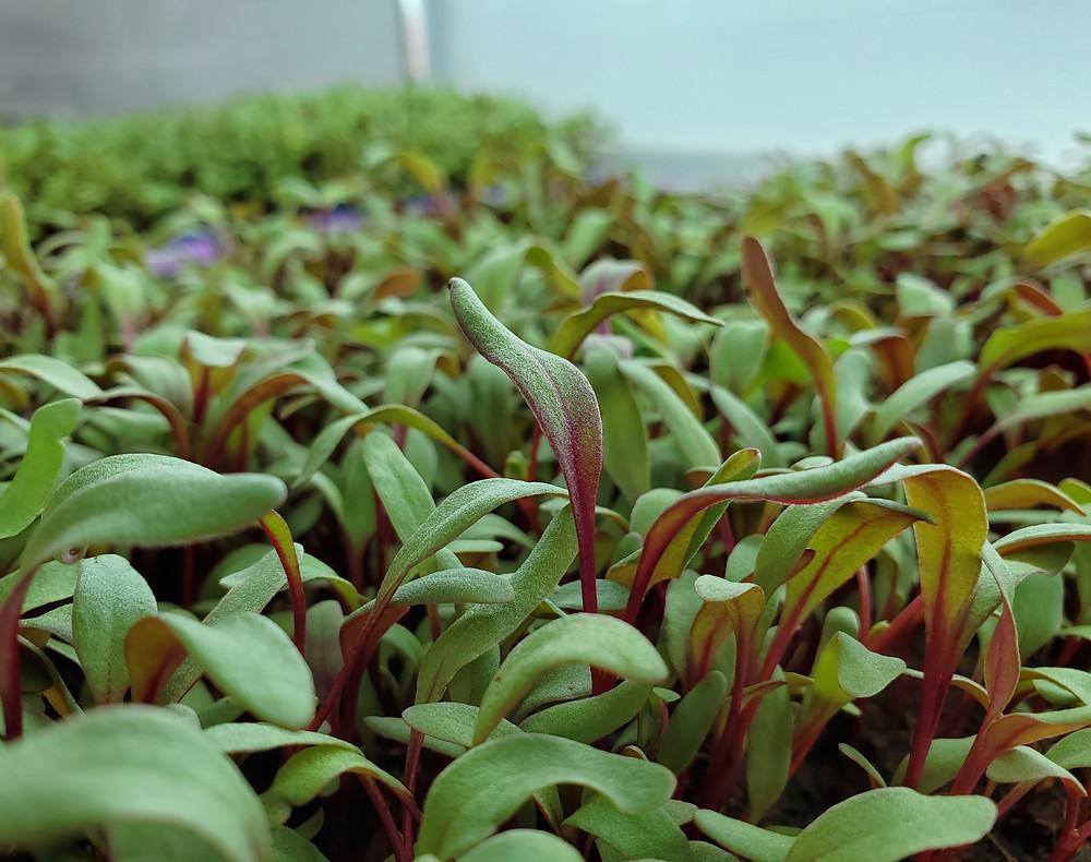On The Grow farms Stunning Swiss Chard Microgreens