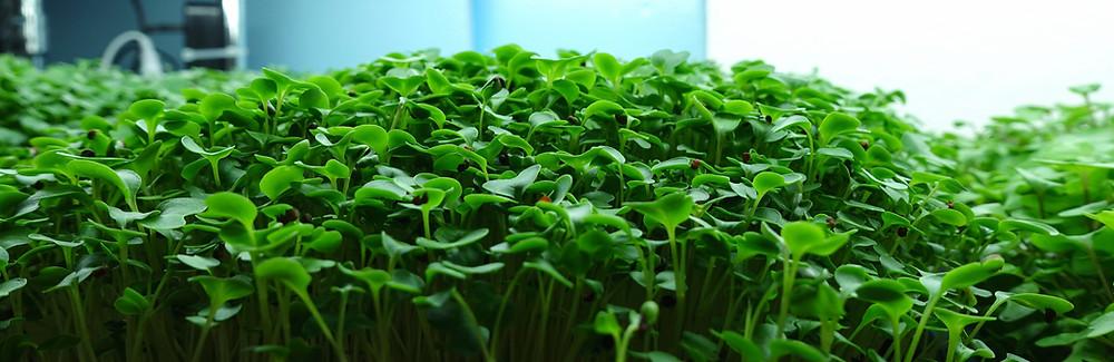 Broccoli Microgreens grown by On the grow