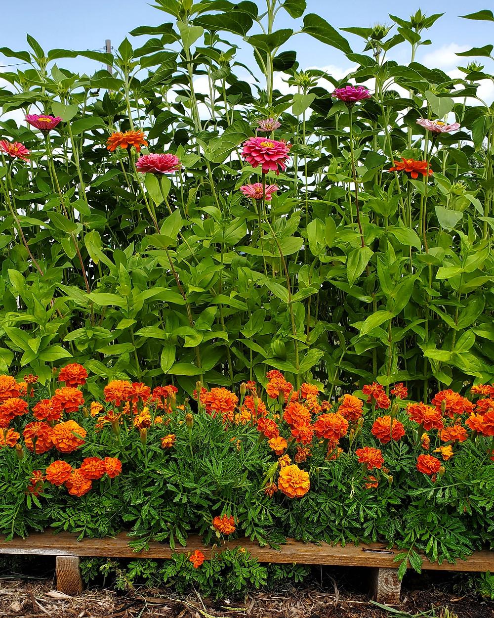 Black Oil Sunflowers, California Giant Zinna's and Marigolds