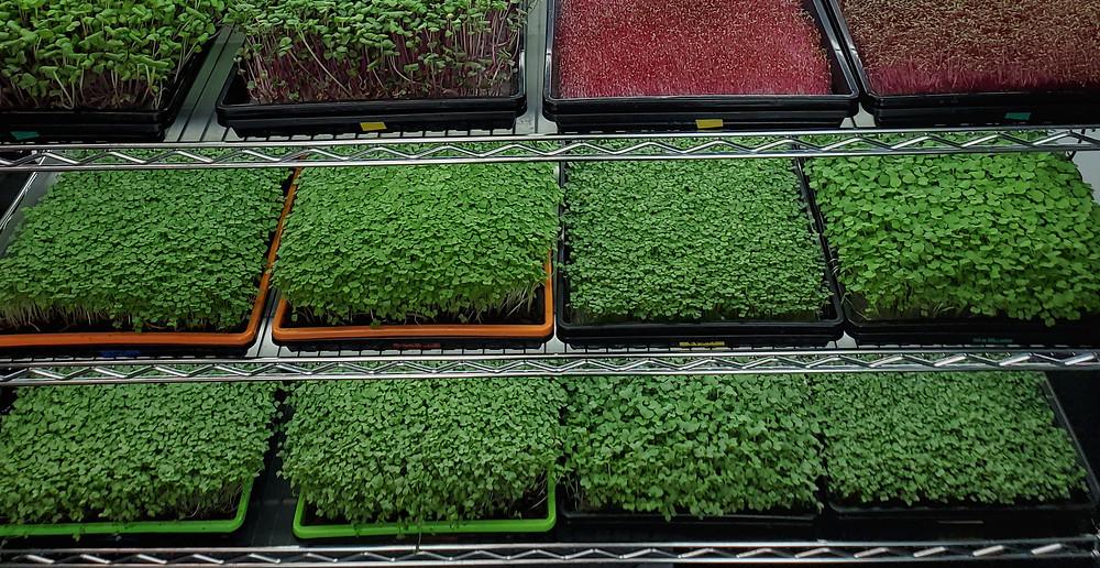 On The Grow Microgreen Grow Rack filled with Microgreens
