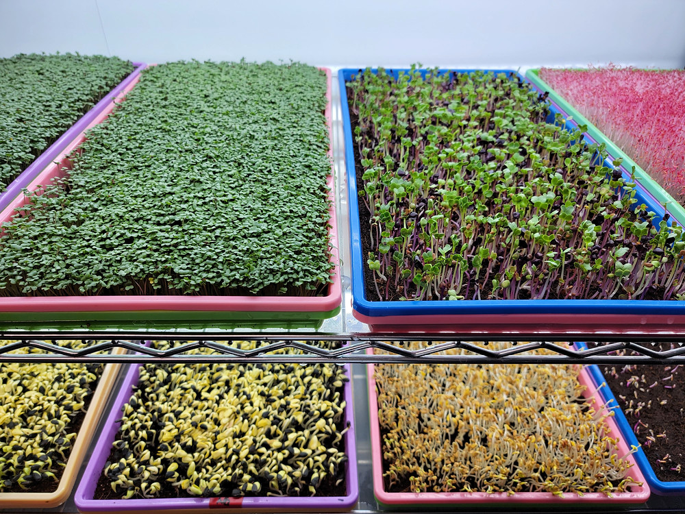 Various Microgreens grown in Bootstrap Farmer on On The Grow shelf