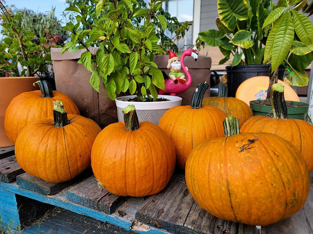 Summer Pumpkin Patch Harvest - On The Grow