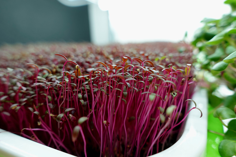 Red Garnet Amaranth Microgreens growing in On the grow Sprouting trays
