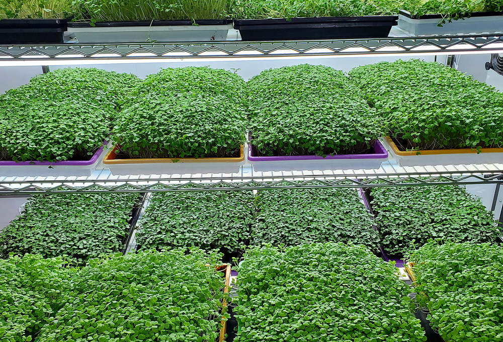 On The Grow Microgreens rack full of Hydroponic Microgreens for their YouTube