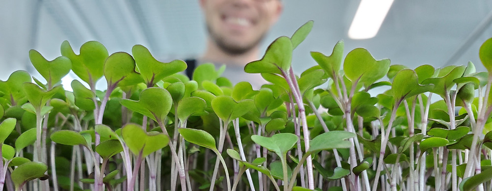Owner of On The Grow, LLC CJ Vaughn Growing Purple Kohlrabi Microgreens using Hydroponics