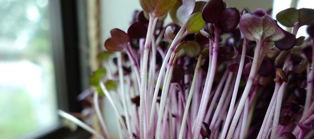On The Grow's Rambo Radish Microgreens Growing