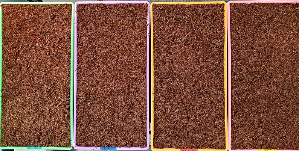 Cococoir grow medium in Microgreen Trays for growing Hydroponic Microgreens Indoors