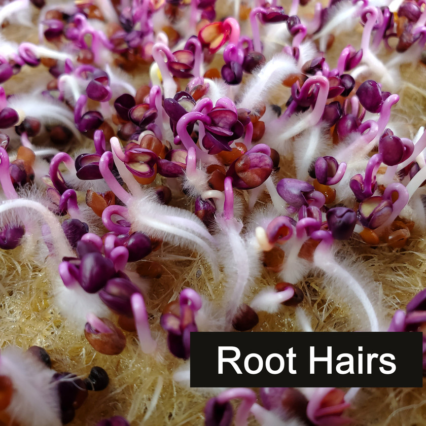 Root hairs on Rambo Radish Microgreens during germination