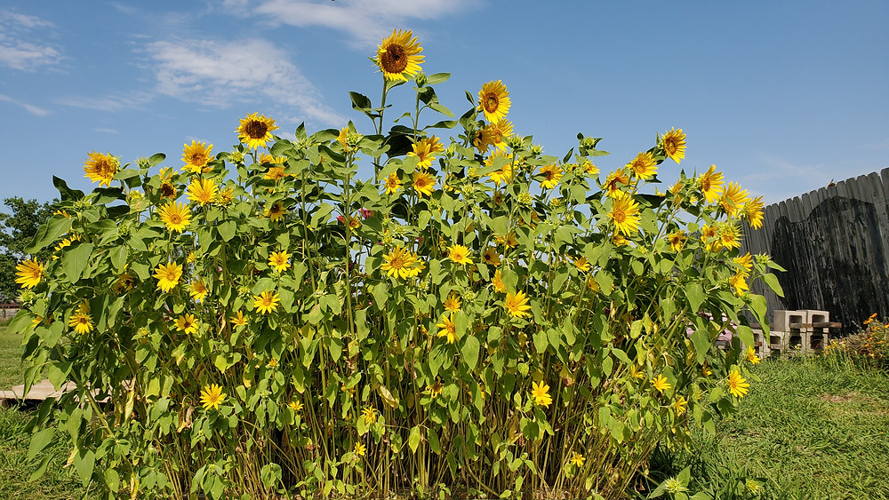 Black Oil Sunflower Microgreens Grown up