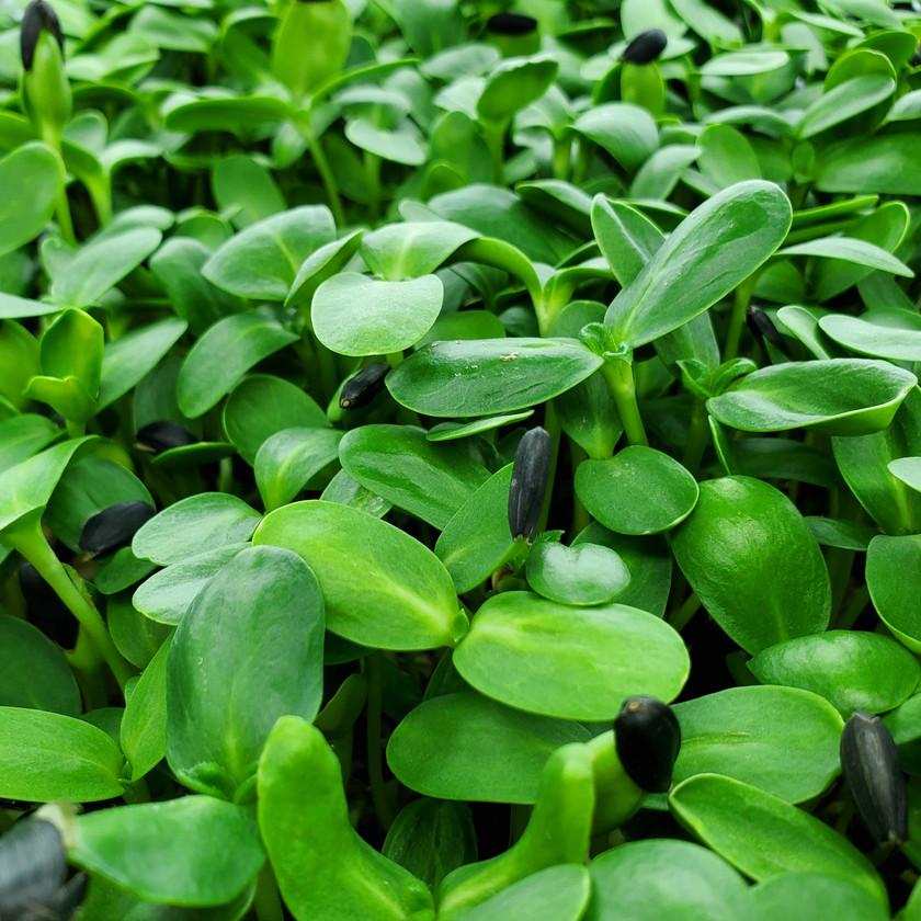 Black Oil Sunflower Microgreens