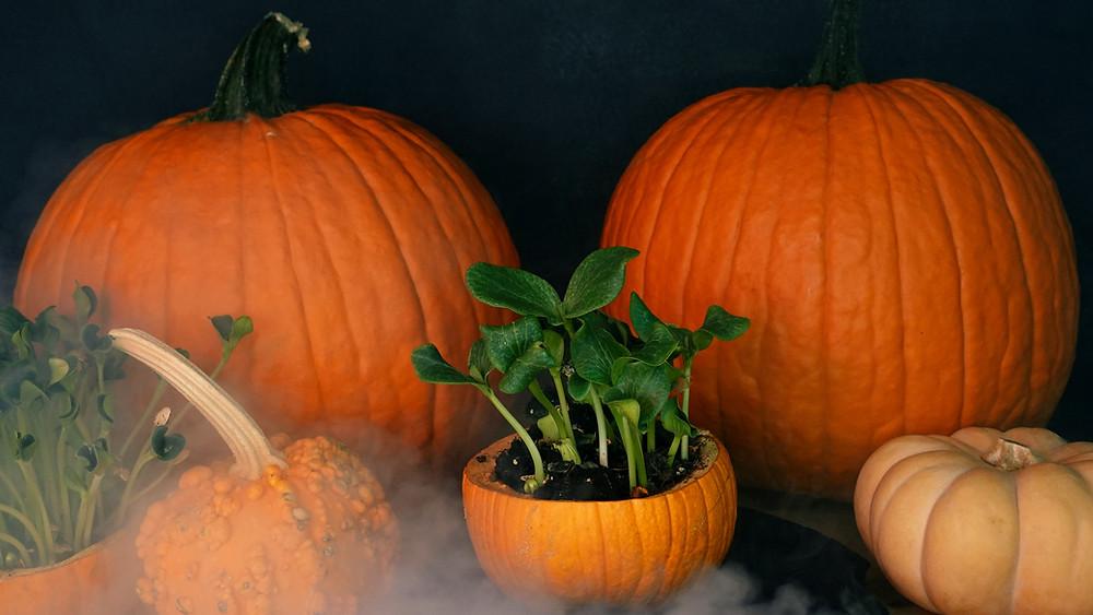 Spooky Cute Pumpkin Microgreens growing in pumpkins - Halloween - Fall - autumn- Fun DIY